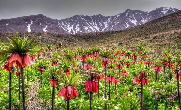 land of Q Inversed Tulips